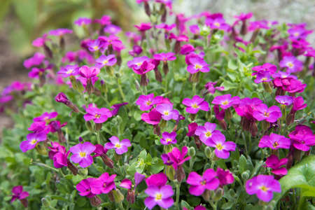 The flowers are bright pink. Close-up of flowers on a flower bed Stok Fotoğraf