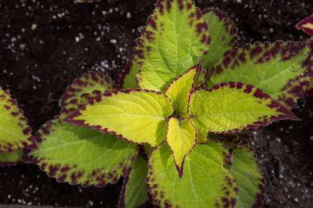 Coleus plant, top view. Plant in the open field. Background, texture. Place for your text Stok Fotoğraf