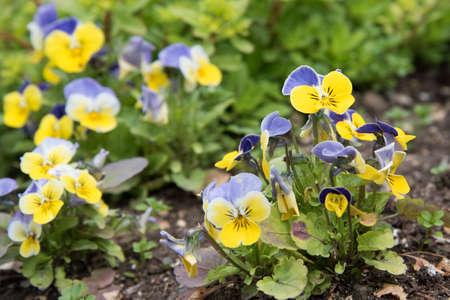 Delicate flowers in the open field grow in a flower bed. Yellow-blue flowers
