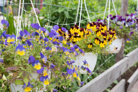 Beautiful flowering plants are suspended in pots. Garden decoration. Summer decorations