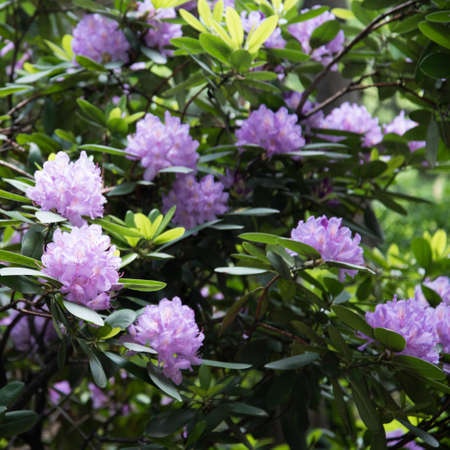Lilac flowers of rhododendron. Large beautiful flowers, background and texture. Stok Fotoğraf