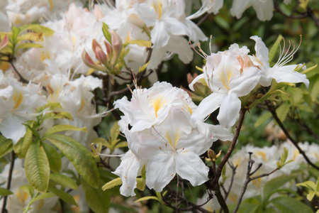 Large white azalea flowers. Beautiful white inflorescences. Summer garden