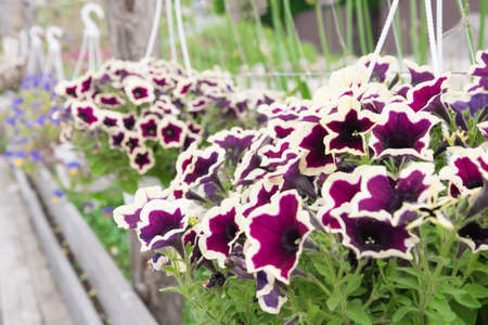 Petunia plant, flowers close-up. The plant is suspended in a flower pot.