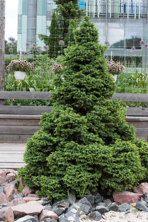 Beautiful fir tree in the urban landscape. Greening of the urban environment.