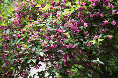 Green bush with bright pink flowers. Large beautiful weigela flowers.