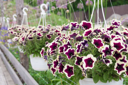 Petunia plant, flowers close-up. The plant is suspended in a flower pot