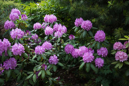 Lilac flowers of rhododendron. Large beautiful flowers, background and texture