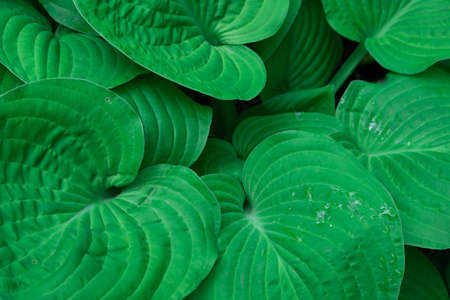 Close-up of large green leaves of hosts. Plant of rich color, background texture Stok Fotoğraf