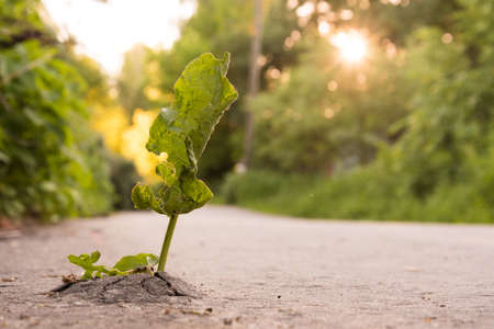 A green plant made its way through the asphalt. Lust for life concept. Recovery and survival concept. Fight for a place in the sun. Strength of mind Stok Fotoğraf