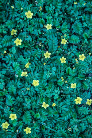 View from above. A carpet of leaves and flowers. Yellow flowers of Potentilla. Background, texture Stok Fotoğraf