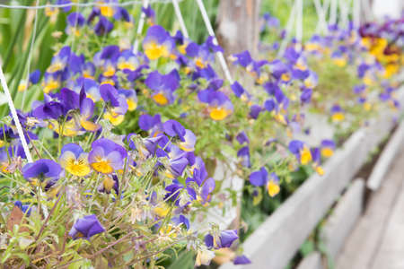 Delicate flowers grow outdoors in a flower bed. Growing flowers for food. Edible flowers