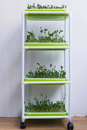 Special shelf for germination of microgreens. Pea microgreens grow in four trays at once. Healthy diet