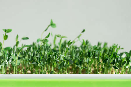 Pea microgreen sprouts. Germination of seeds. Healthy and wholesome food Stok Fotoğraf