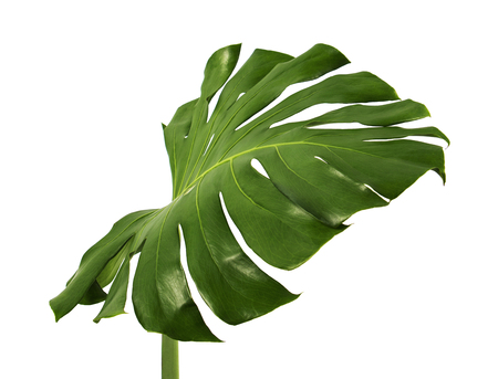 Monstera deliciosa leaf or Swiss cheese plant, Tropical foliage isolated on white background, with clipping path 版權商用圖片 - 95037943