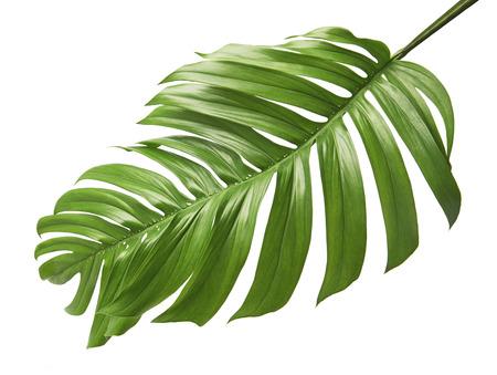 Monstera-deliciosa Blatt oder Schweizer Käsepflanze, tropisches Laub lokalisiert auf weißem Hintergrund, mit Beschneidungspfad
