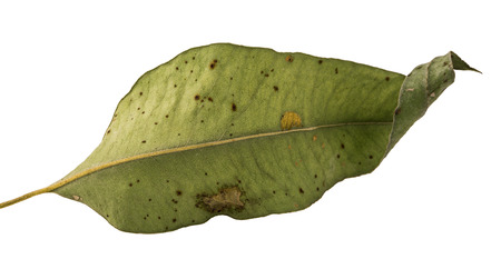 Dry eucalyptus leaf, Gum trees foliage isolated on white background, with clipping path Stock Photo