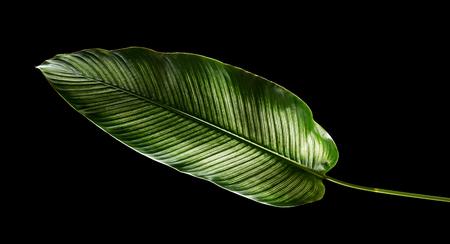 Calathea ornata (Pin-stripe Calathea) leaves, Tropical foliage isolated on black background, with clipping path