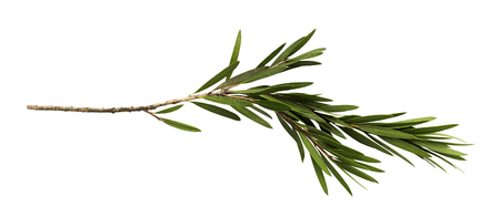 Green leaves and branch of bottle brush tree isolated on white background, with clipping path