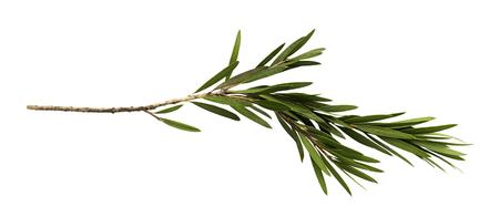 Groene bladeren en tak van flessenborstelboom die op witte achtergrond, met het knippen van weg wordt geïsoleerd