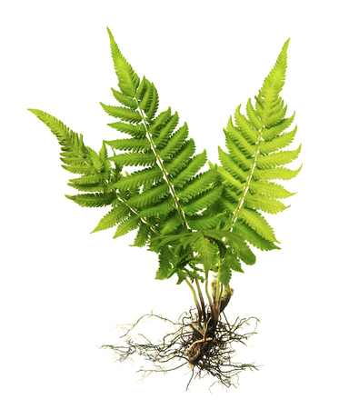 Fern with roots and frond (without soil) isolated on white background, with clipping path Archivio Fotografico
