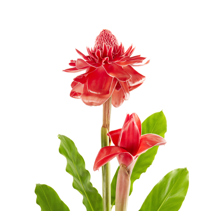 Two Etlingera elatior (Red torch ginger flower) with leaves isolated on white background, with clipping path