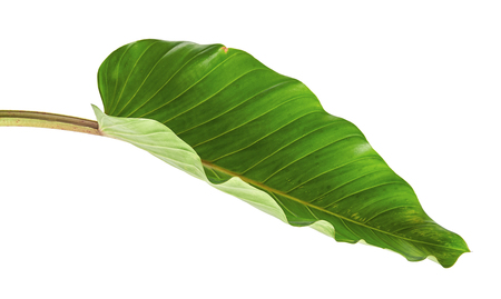 Philodendron leaf (Philodendron melinonii), Large green foliage isolated on white background, with clipping path