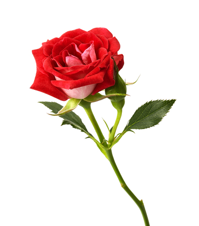 Red rose with leaves and rose buds, Blooming rose isolated on white background, with clipping path