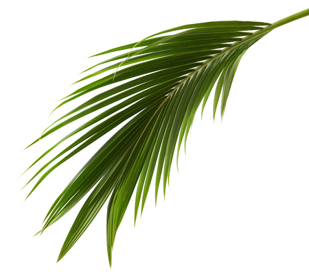 Coconut leaves or Coconut fronds, Green plam leaves, Tropical foliage isolated on white background with clipping path Stock fotó