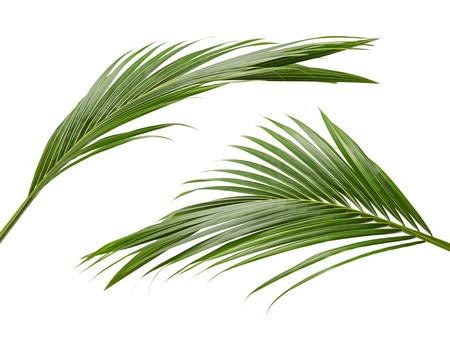 Kokosnussblätter oder Kokosnusswedel, grüne plam Blätter, tropisches Laub lokalisiert auf weißem Hintergrund mit Beschneidungspfad