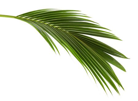 Liście kokosowe lub liście kokosowe, liści zielonej plam, tropikalnych liści na białym tle na białym tle ze ścieżką przycinającą Zdjęcie Seryjne