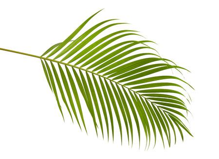 Gelbe Palmblätter (Dypsis lutescens) oder goldene Stockpalme, Arekanusspalmblätter, tropisches Laub lokalisiert auf weißem Hintergrund mit Beschneidungspfad Standard-Bild