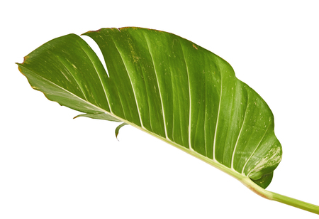 Devil's ivy, Golden pothos, Epipremnum aureum, Heart shaped leaves vine with large leaves isolated on white background, with clipping path Stock Photo