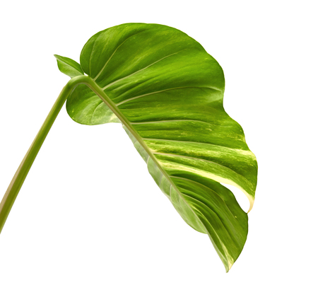 Devil's ivy, Golden pothos, Epipremnum aureum, Heart shaped leaves vine with large leaves isolated on white background, with clipping path Archivio Fotografico