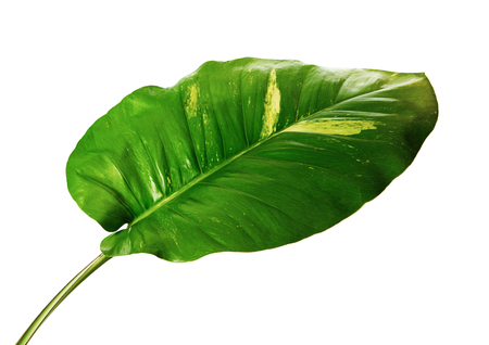 Devil's ivy, Golden pothos, Epipremnum aureum, Heart shaped leaves vine with large leaves isolated on white background, with clipping path 版權商用圖片