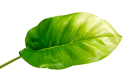 Devils ivy, Golden pothos, Epipremnum aureum, Heart shaped leaves vine with large leaves isolated on white background, with clipping path