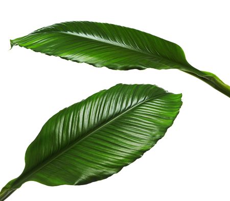 Large leaves of Spathiphyllum or Peace lily, Fresh green foliage isolated on white background, with clipping path