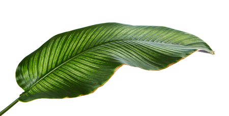 Calathea ornata (Pin-stripe Calathea) leaves, Tropical foliage isolated on white background Banco de Imagens