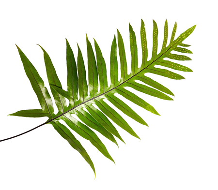 Wart fern leaf, Ornamental foliage, Fern isolated on white background, with clipping path