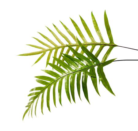 Wart fern leaf, Ornamental foliage, Fern isolated on white background, with clipping path
