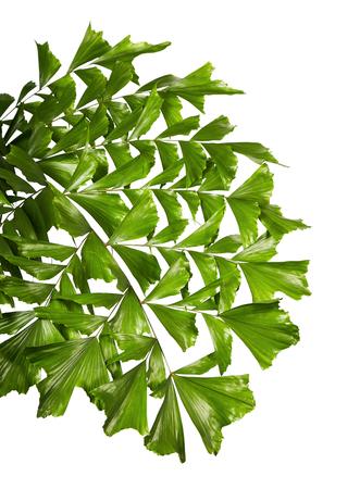 Caryota obtusa leaves (Giant fishtail palm), Beautiful palm leaf, Tropical foliage isolated on white background Stock Photo