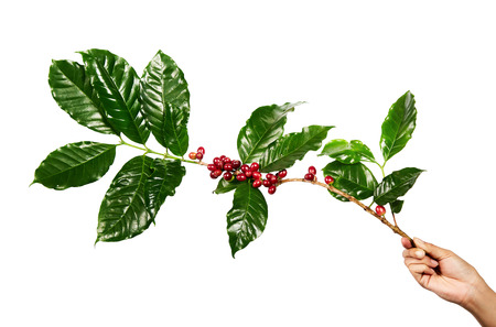 Red coffee beans on a branch of coffee tree with leaves, Ripe and unripe coffee beans isolated on white background