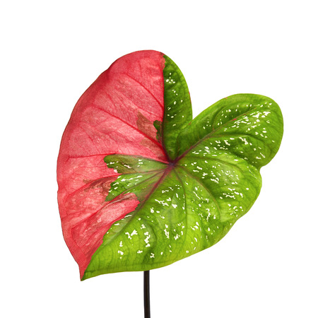 Caladium bicolor leaf or Queen of the Leafy Plants, Bicolor foliage isolated on white background