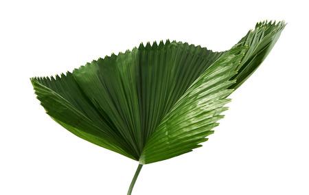 Licuala grandis or Ruffled Fan Palm leaf, Large tropical foliage, Pleated leaf isolated on white background Stock Photo