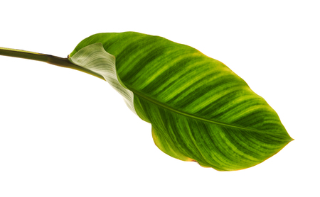 Calathea zebrina foliage or Zebra plant, Exotic tropical leaf, isolated on white background with clipping path