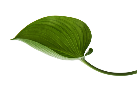 Cardwell lily leaf, Green circular leaves isolated on white background, with clipping path Stock Photo