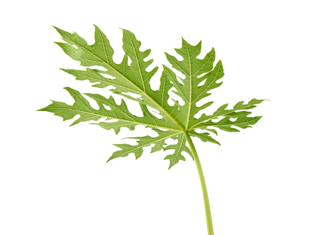 Papaya leaf, Green papaya leaves, Tropical foliage isolated on white background with clipping path