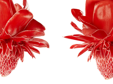 Etlingera elatior, Red torch ginger flower isolated on white background, with clipping path