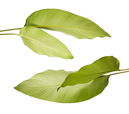 Calathea foliage, Exotic tropical leaf, Large green leaf, isolated on white background with clipping path Stock Photo
