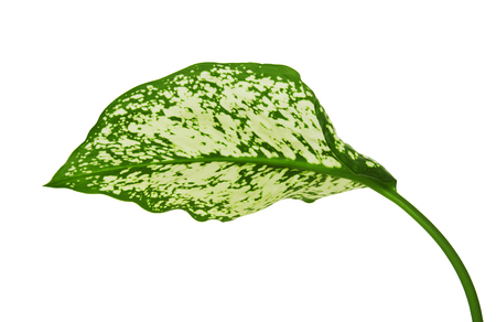 Aglaonema foliage, Spring Snow Chinese Evergreen, Exotic tropical leaf, isolated on white background with clipping path