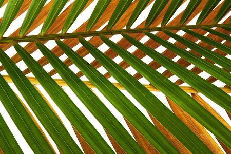 Yellow palm leaves (Dypsis lutescens) or Golden cane palm, Areca palm leaves, Tropical foliage isolated on white background Stock fotó